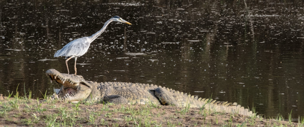 Uneasy pool sharers, Kruger Park