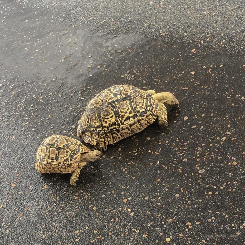 Leopard tortoises drinking from puddles of freshly fallen rain