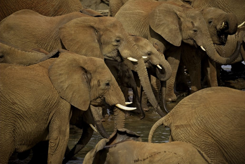 A small group of the hundred-odd elephants that emerged from the Madikwe River at dusk