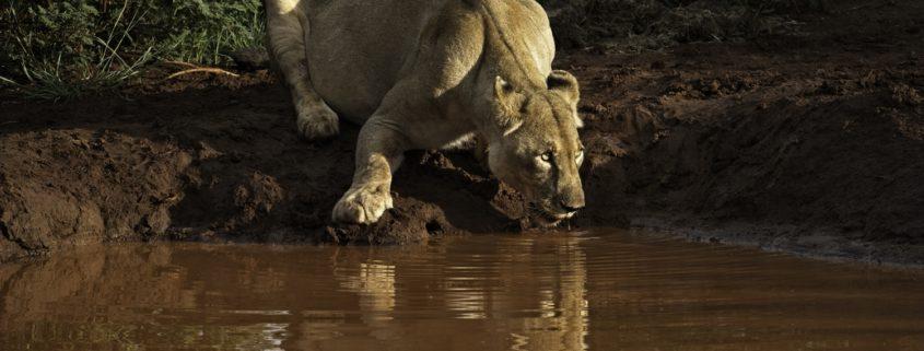 Sundowners lion(ess) style