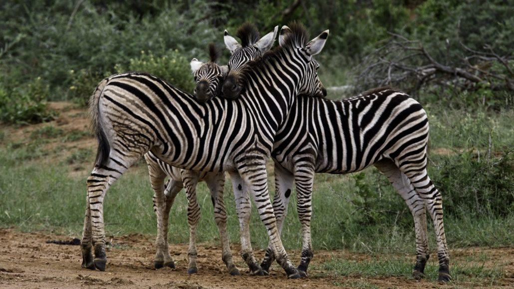 Immature zebra huddle